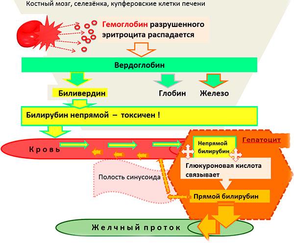 Уровень билирубина в крови: норма показателя у мужчин и женщин