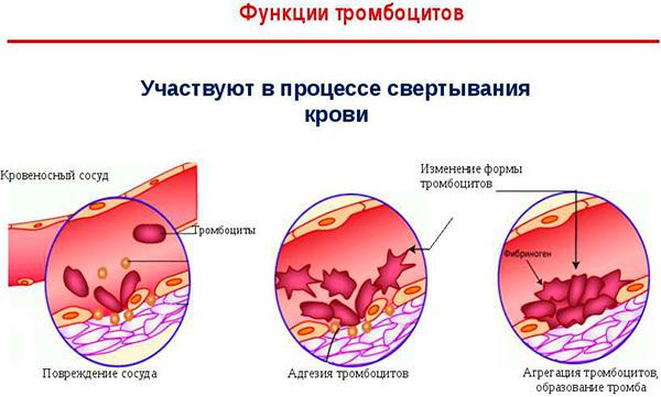 Тромбоциты (plt) в анализе крови: норма и расшифровка