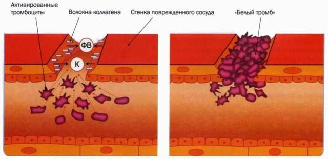 Как происходит свертывание крови: факторы и время гемокоагуляции