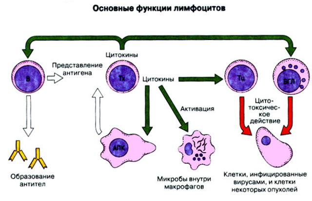 Агранулоциты: функции, строение и виды этих клеток крови