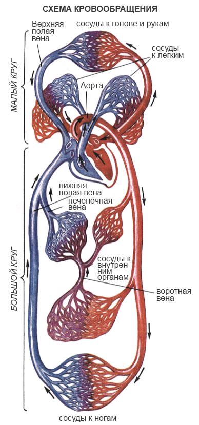 Артерии и сосуды большого и малого круга кровообращения, схема