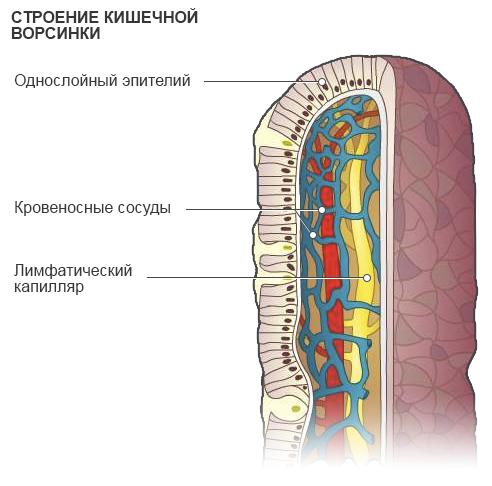 Железы желудка: классификация, какие функции выполняют, схема работы
