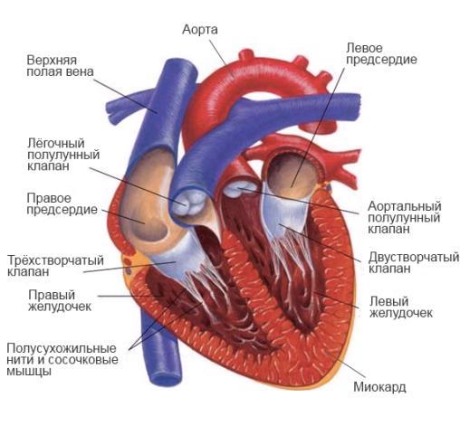 Строение сердца человека, его стенок, функции и круги кровообращения