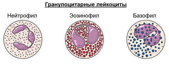 Гранулоциты понижены: что это значит, причины низких незрелых гранулоцитов