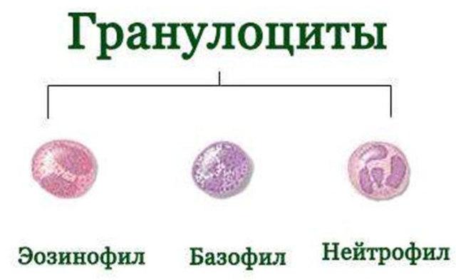 Гранулоциты крови: что это, виды, норма, причины повышения и функции