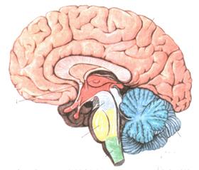 Сосуды головного мозга, их болезни и закупорка (симптомы, профилактика)