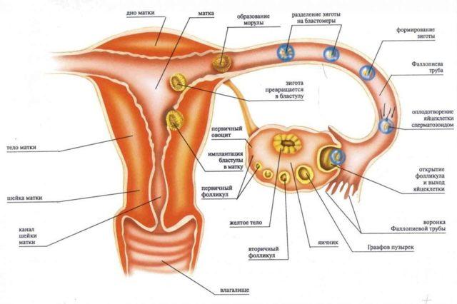 Можно ли забеременеть перед месячными: за сколько дней возможно зачатие